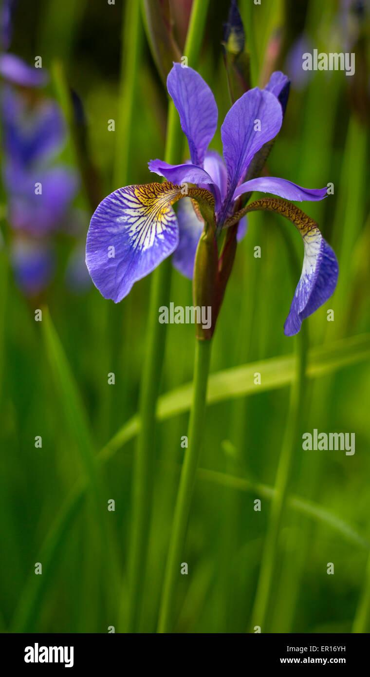 Blue / Purple Iris Flower on green Stock Photo