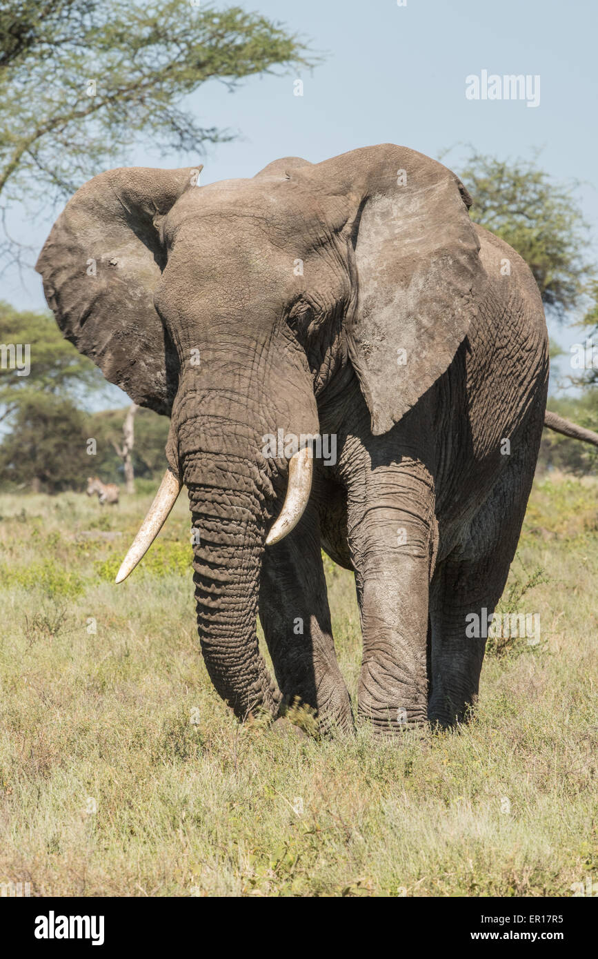 Elephant reaching grasses with trunk, Tanzania - Stock Image