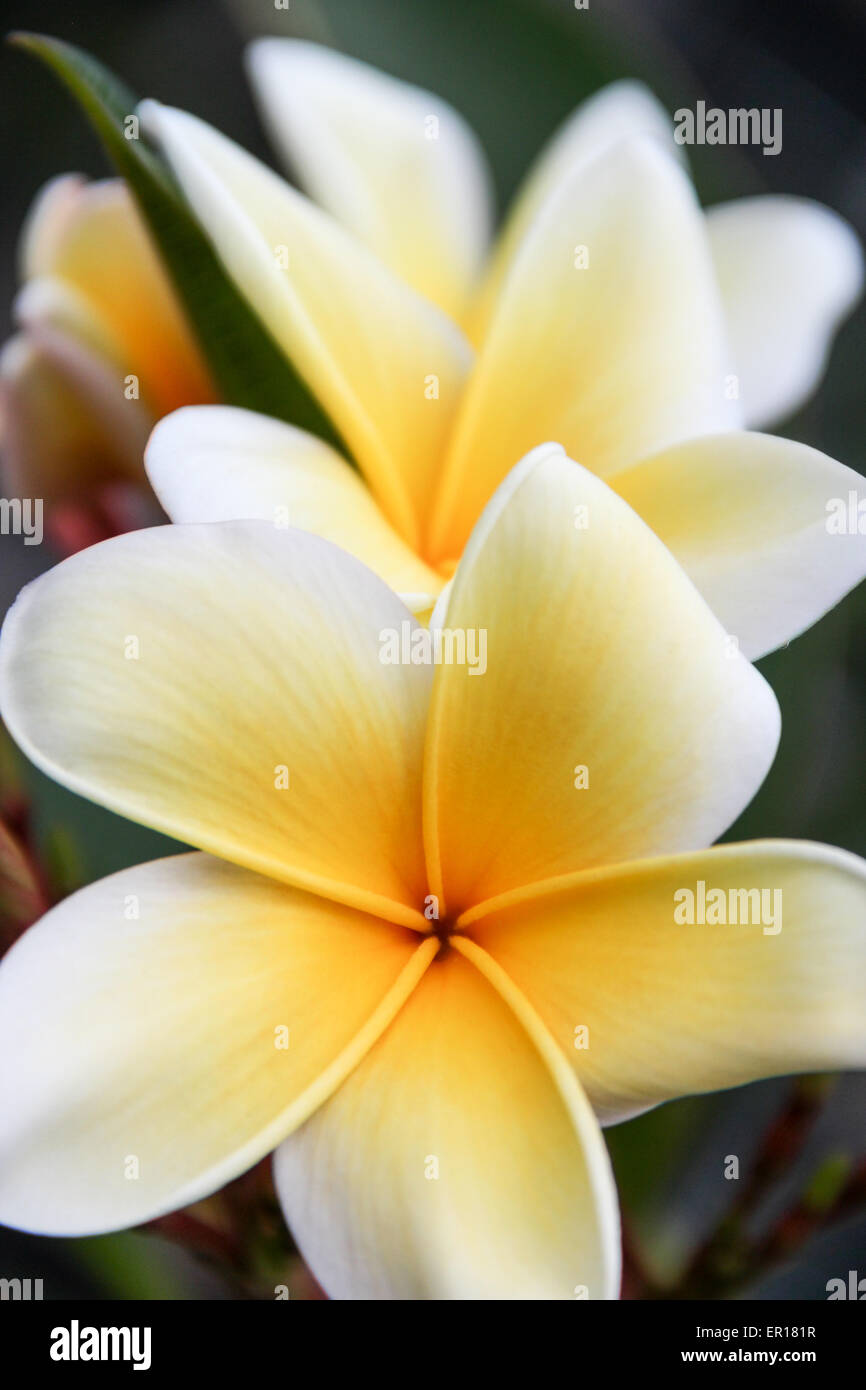 White yellow tropical flowers stock photos white yellow tropical plumeria frangipani flower yellow and white tropical flowers stock image mightylinksfo
