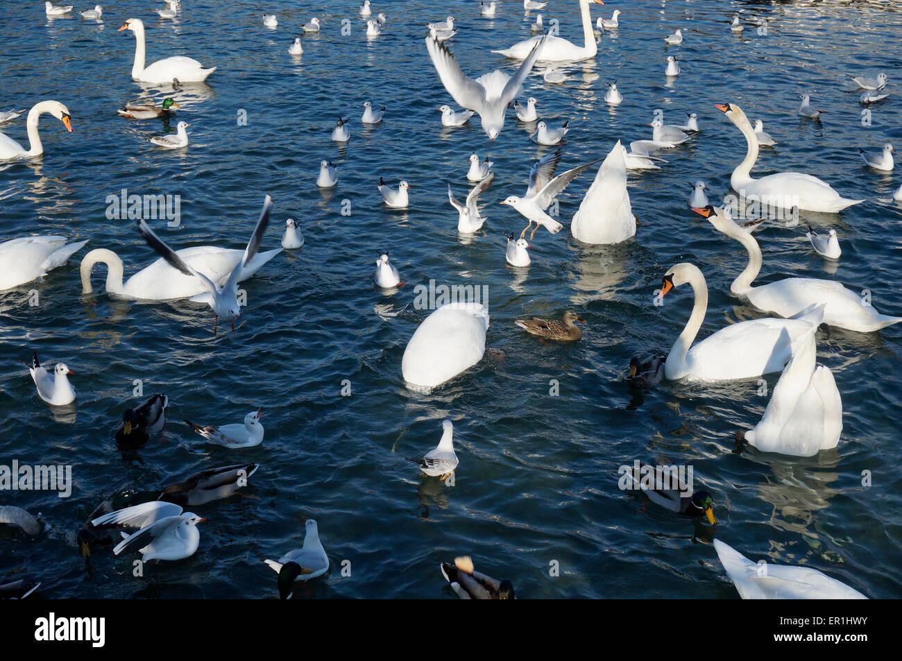 Waterfowl - Stock Image