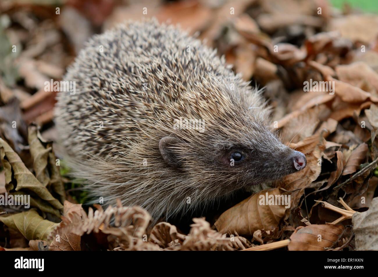 Hedgehog in leaf litter UK - Stock Image
