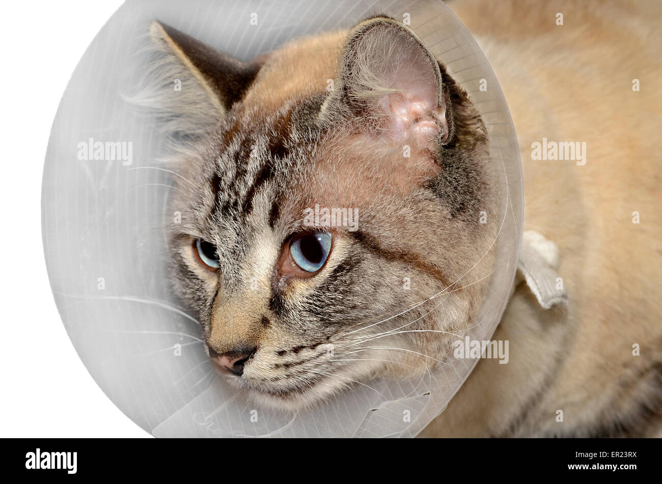 Siamese Balinese mixed breed cat wearing a cone after surgery. - Stock Image