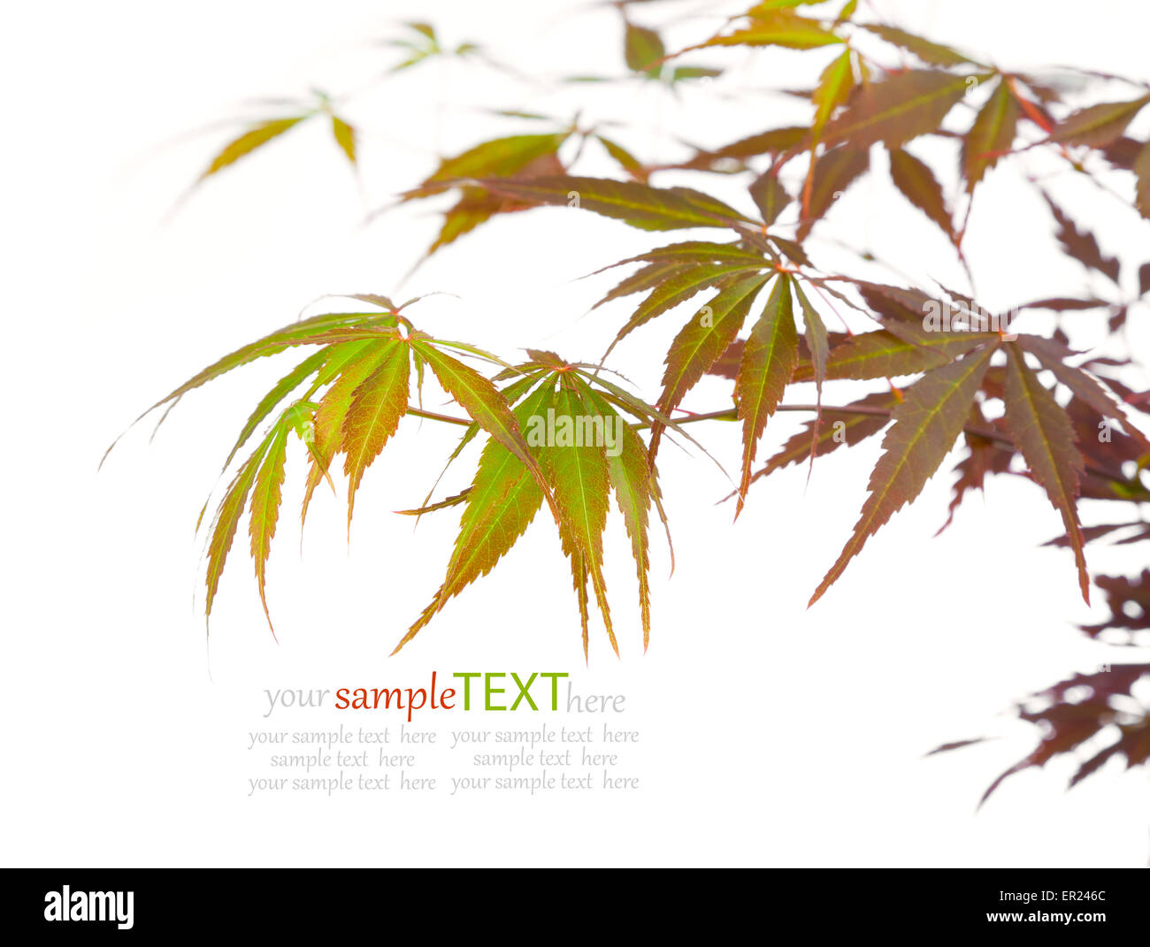 maple leaves, lovely floral design element (shallow depth of field) - Stock Image