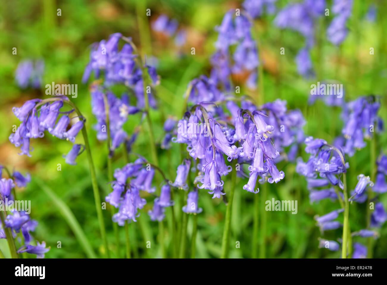 Flowers Of Wild Hyacinth In Hallerbos Or Bois De Hal
