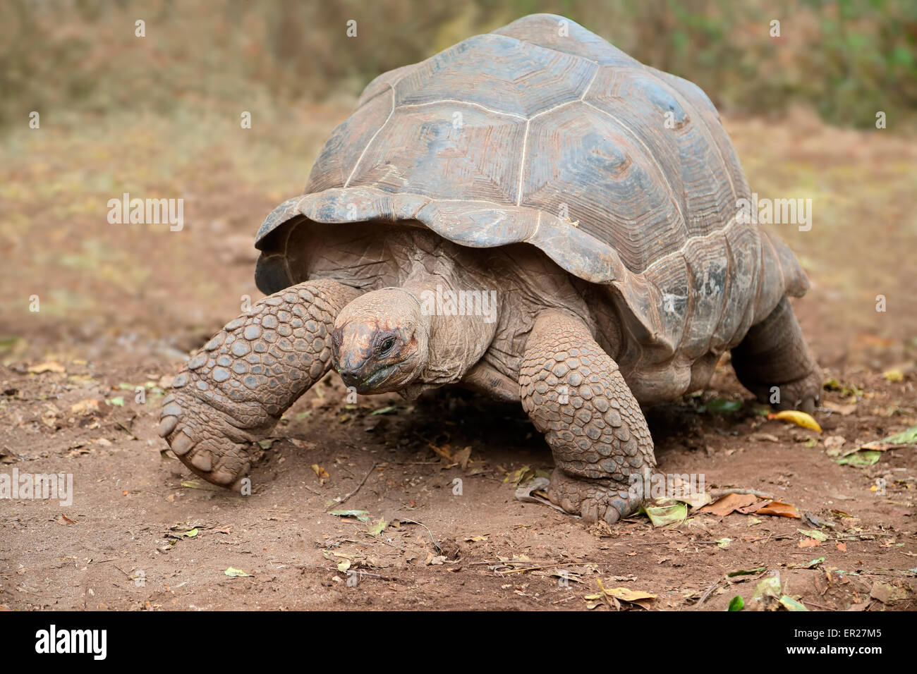 Aldabra giant tortoise (Aldabrachelys gigantea) on prison island, Zanzibar - Stock Image