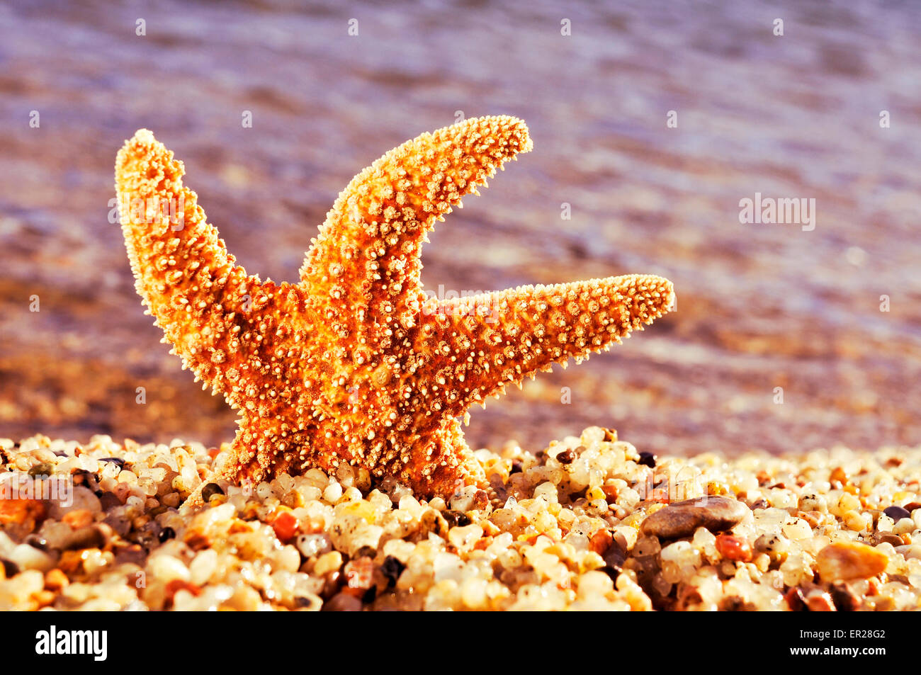 closeup of an orange seastar in the shore of the sea - Stock Image