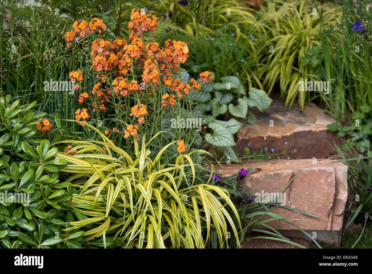 Erysimum 'Apricot Twist' growing in a section of The Sentebale-Hope in Vulnerability Garden at The RHS Chelsea - Stock Image