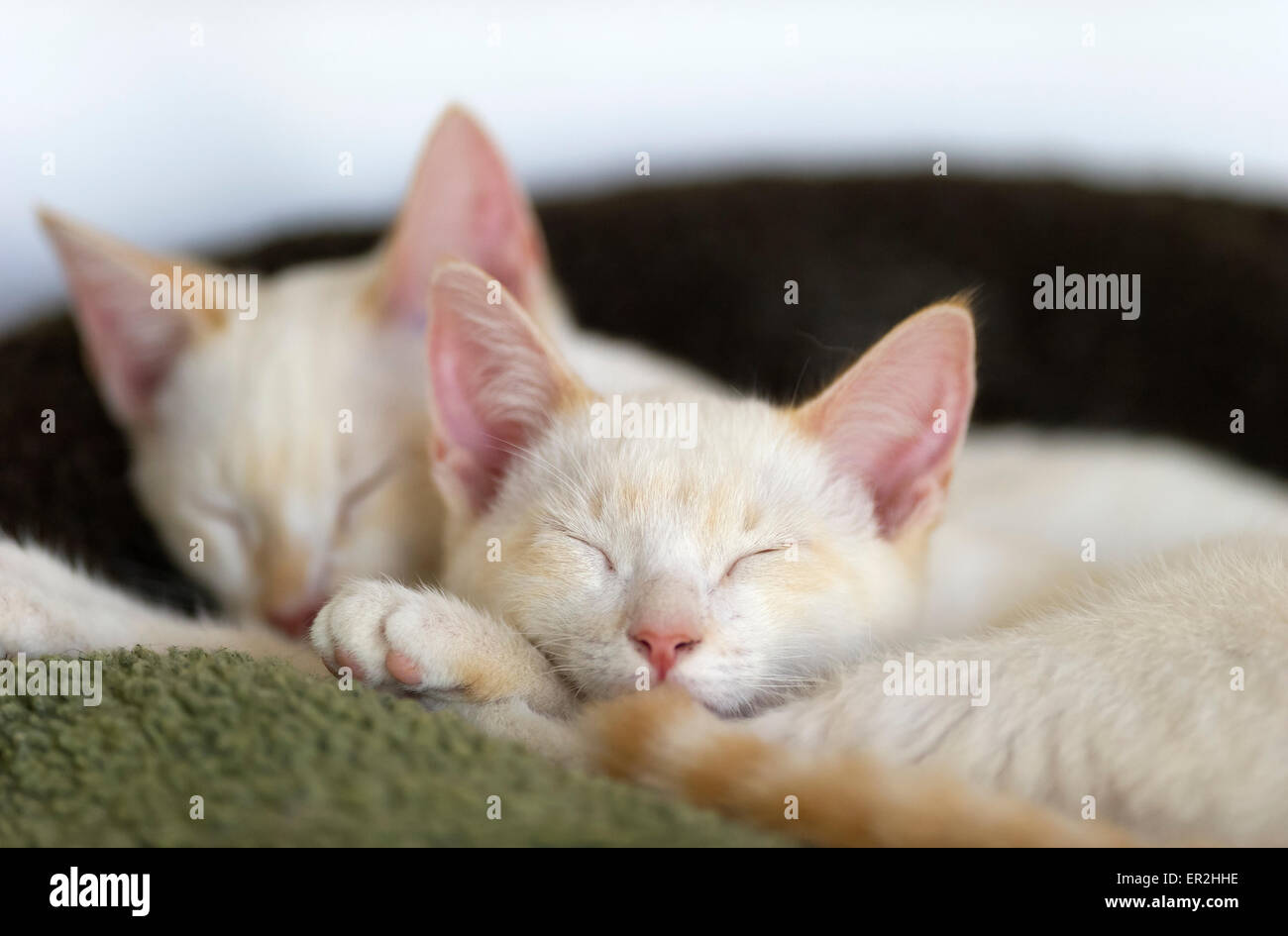 Kittens sleeping peacefully in their bed together. - Stock Image