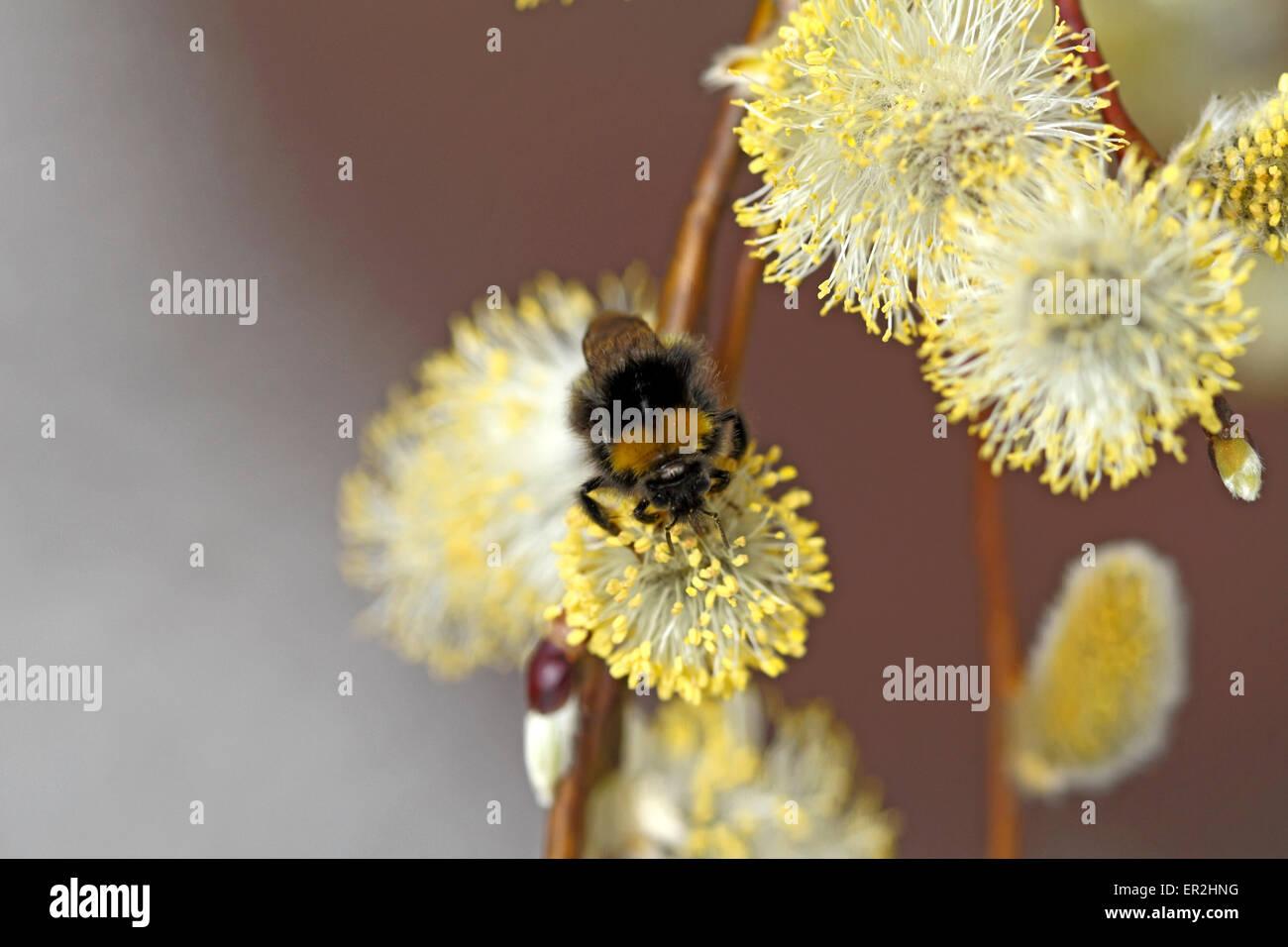 Nahaufnahme von bluehenden Weidenkaetzchen, Salweide, Salix caprea - Stock Image