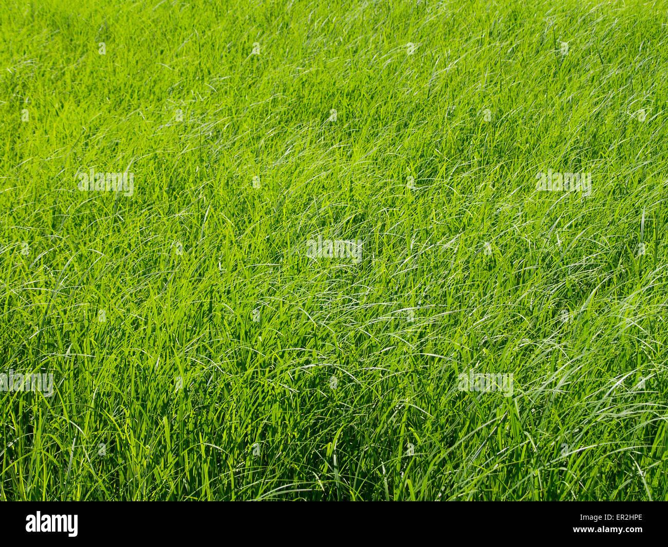 Wiese, Grashalme, Sonnenlicht, Natur, Pflanzen, Gras, Wachstum, wachsen, spriessen, frisch, sonnig, sommerlich, - Stock Image