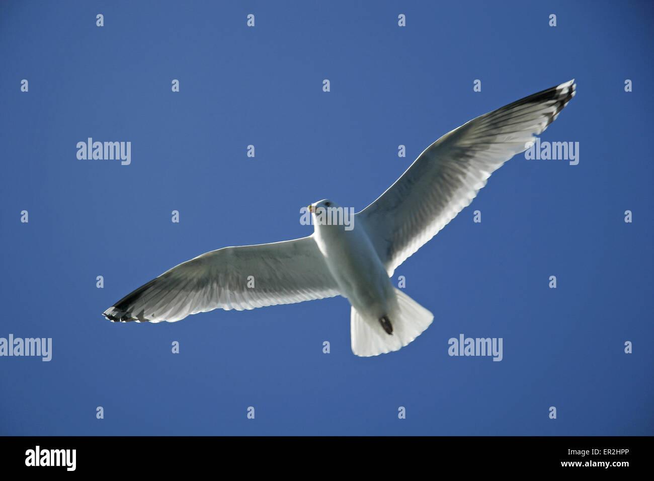 Norwegen, Norge, Norway, Mittelnorwegen, Europa, Insel Hitra, blauer, Himmel, fliegen, Flug, Moewe, Moewen, Skandinavien, - Stock Image