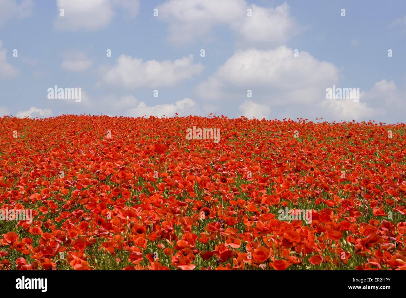 Landschaft, Blumenwiese, Mohn, bluehen, Natur, Huegel, Wiesen, Felder, Weite, Ferne, Aussicht, Horizont, Vegetation, - Stock Image