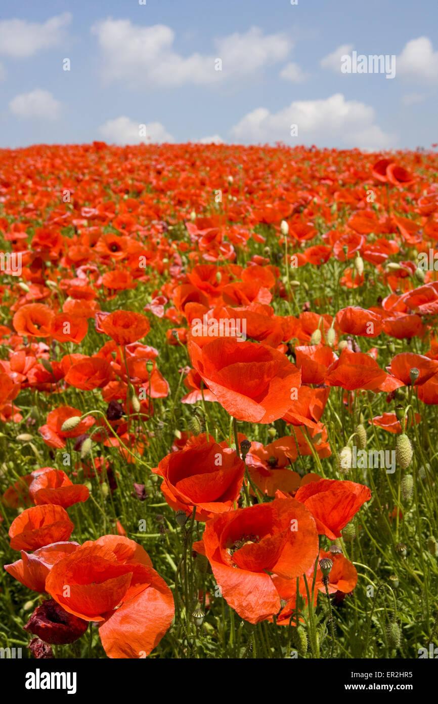 Landschaft, Blumenwiese, Mohn, bluehen, Natur, Huegel, Wiesen, Felder, Weite, Ferne, Aussicht, Horizont, Vegetation, Stock Photo