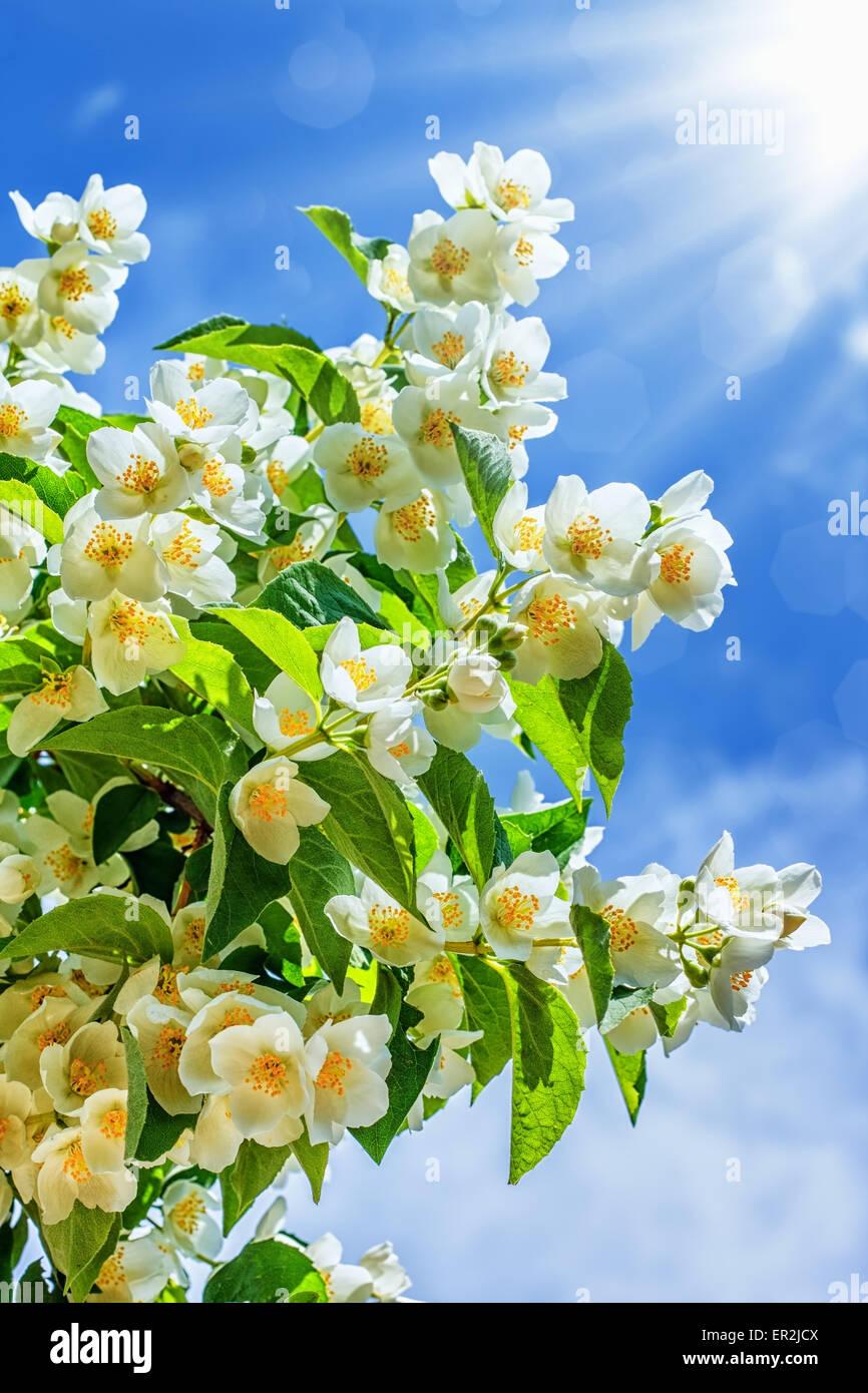 Jasmine flower growing in garden with sun rays and blue sky stock jasmine flower growing in garden with sun rays and blue sky izmirmasajfo