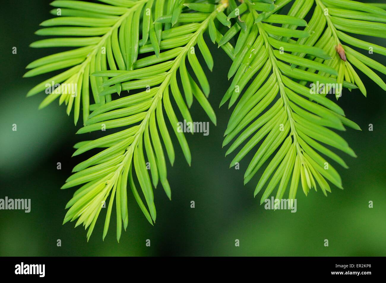 Yew foliiage. Taxus baccata. - Stock Image