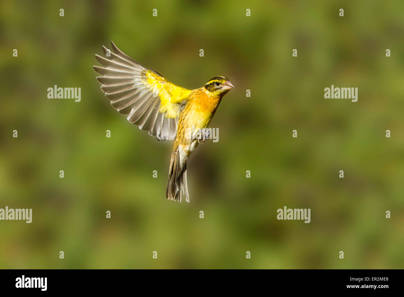 Black-headed Grosbeak  Pheucticus melanocephalus Santa Rita Mountains, Santa Cruz County, Arizona, United States - Stock Image