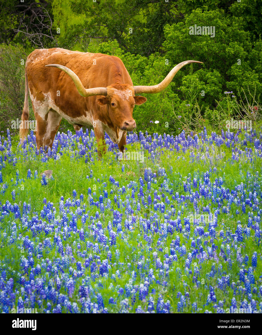 Longhorn cattle among bluebonnets in the Texas Hill Country Stock Photo