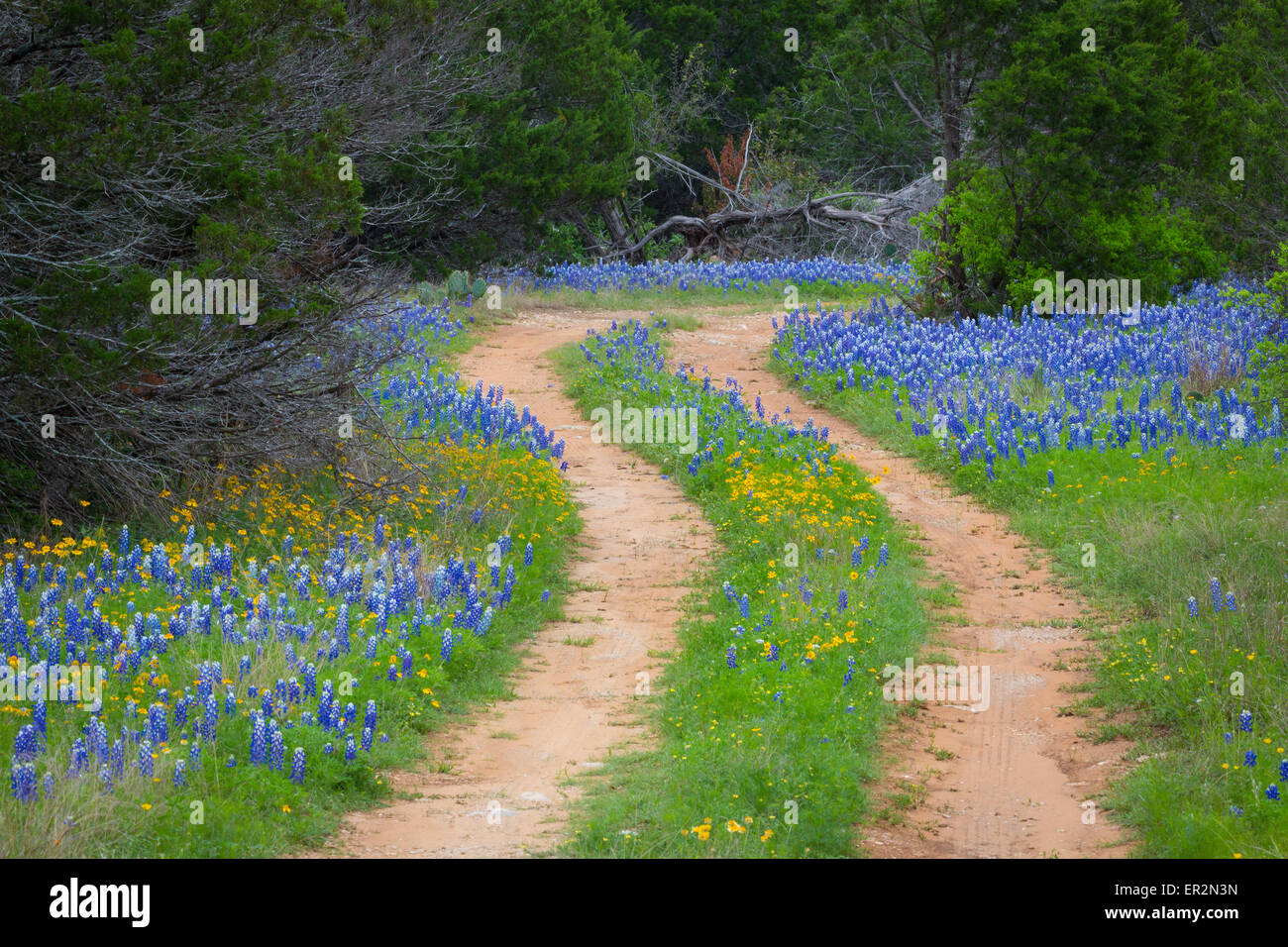 Country road in the Texas Hill Country east of Llano, Texas, line by bluebonnets - Stock Image