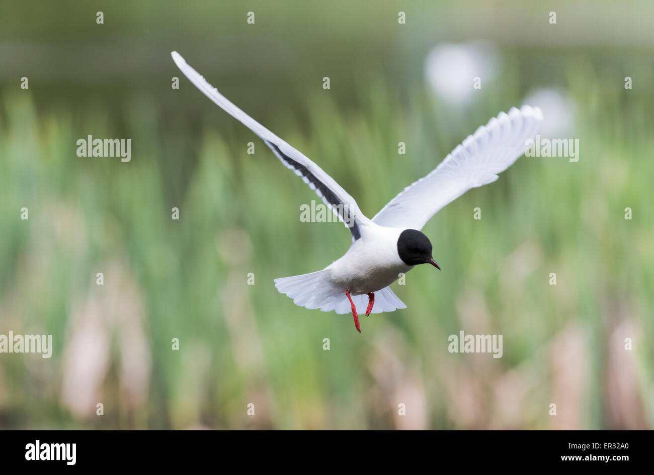 Little gull, Larus minutus hovering - Stock Image