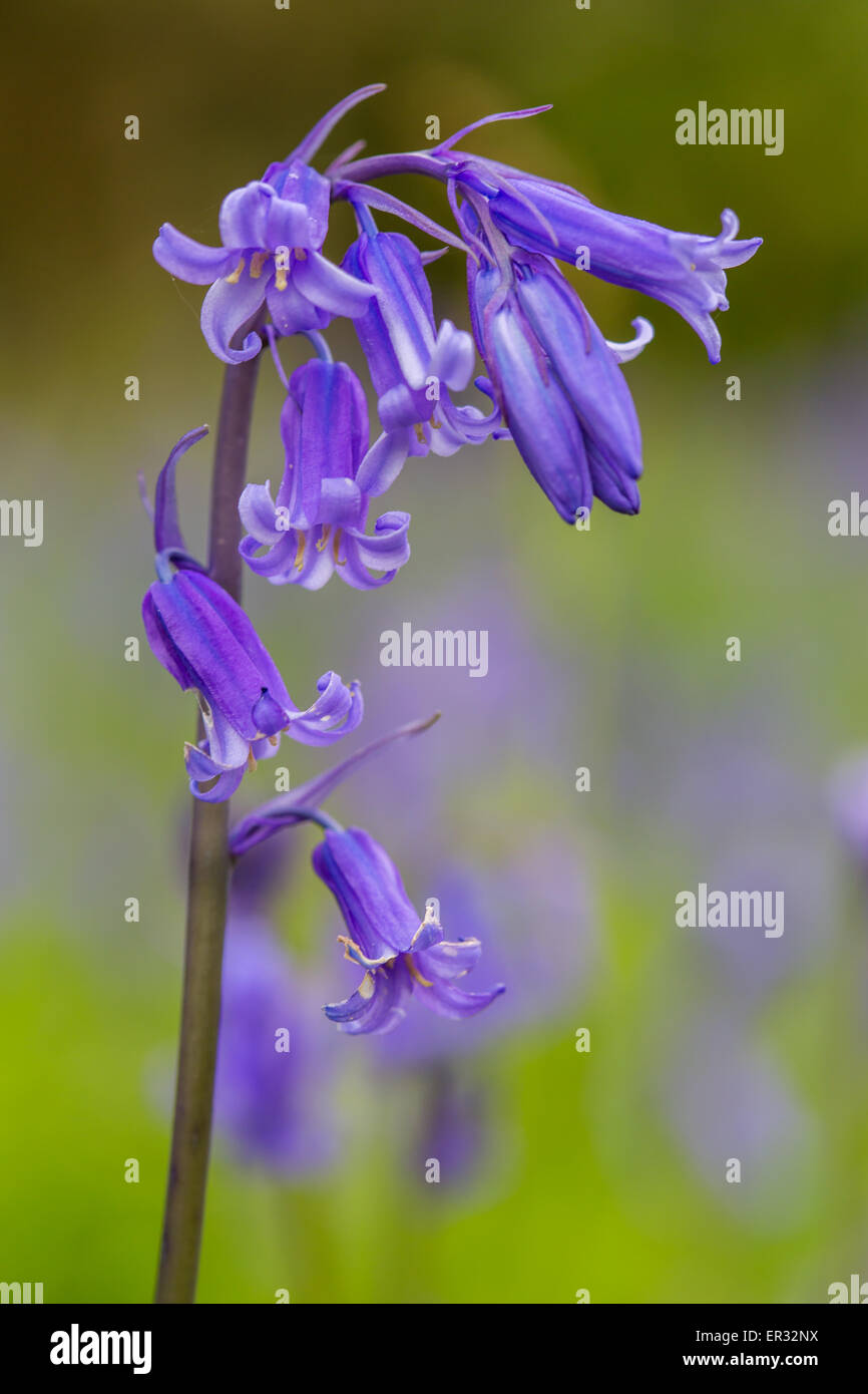 Bluebell close up native species england uk - Stock Image