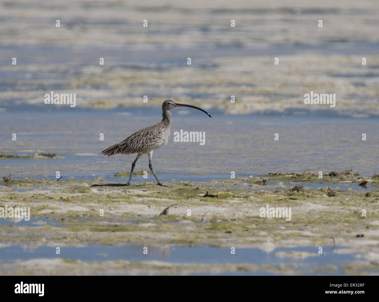 Far Eastern Curlew - Stock Image
