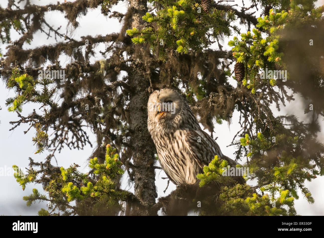Ural owl, Strix uralensis, sitting in a spruce - Stock Image