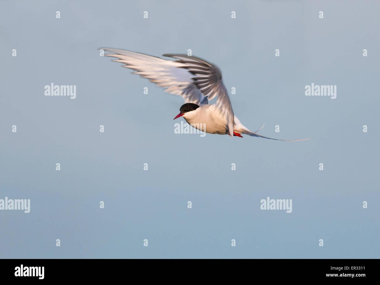 Arctic tern, Sterna paradisaea, hovering - Stock Image