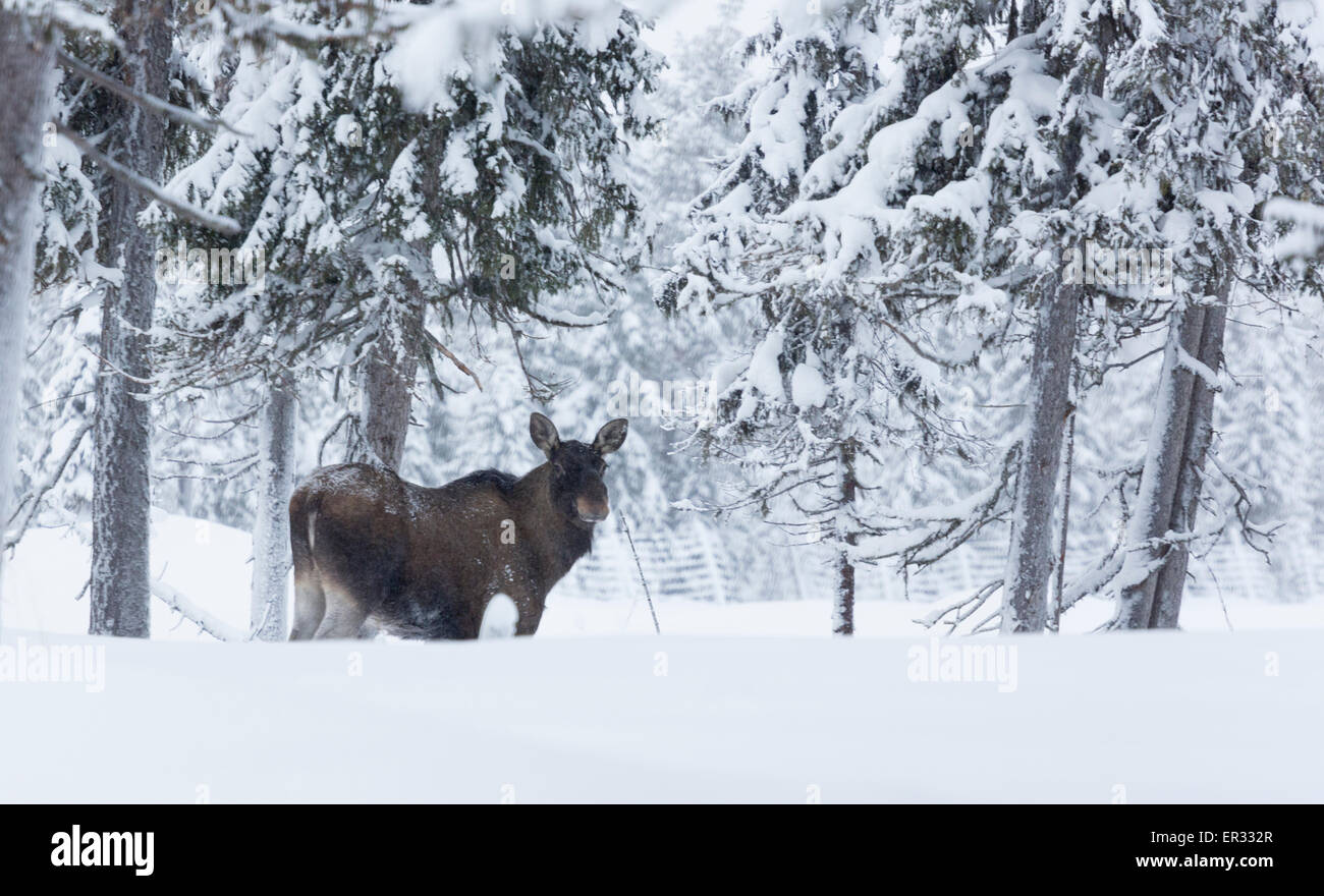 Moose, Alces alces in winter landscape - Stock Image
