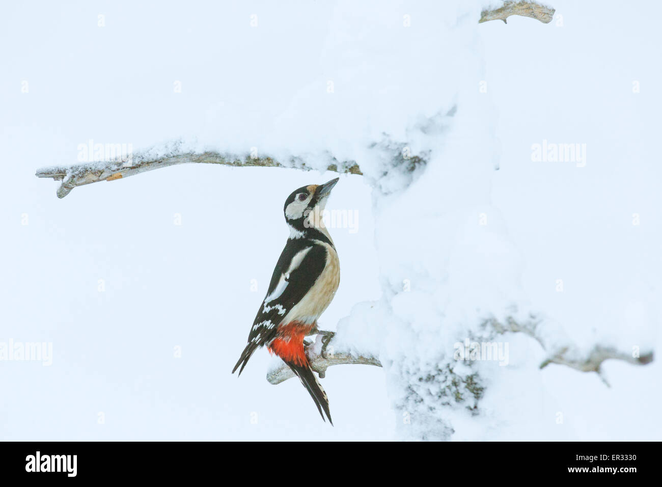 great spotted woodpecker, Dendrocopos major in snowy tree in Gällivare Swedish Lapland - Stock Image