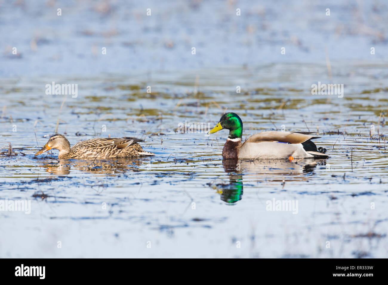 Male and female mallard, Anas platyrhynchos swimming - Stock Image