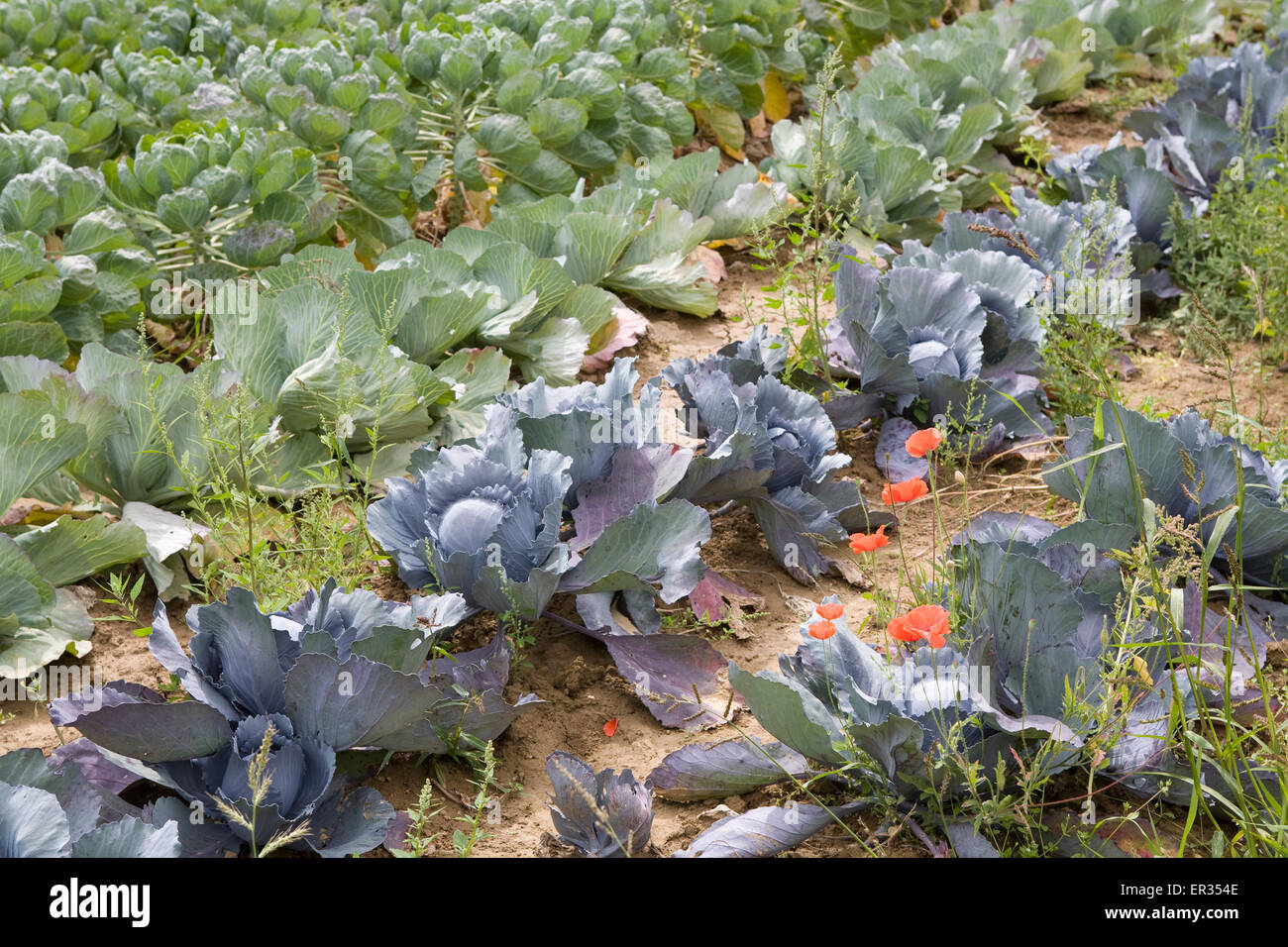 DEU, Germany, field with Brussels sprouts, white and red cabbage.  DEU, Deutschland, Feld mit Rosenkohl, Weisskohl, - Stock Image