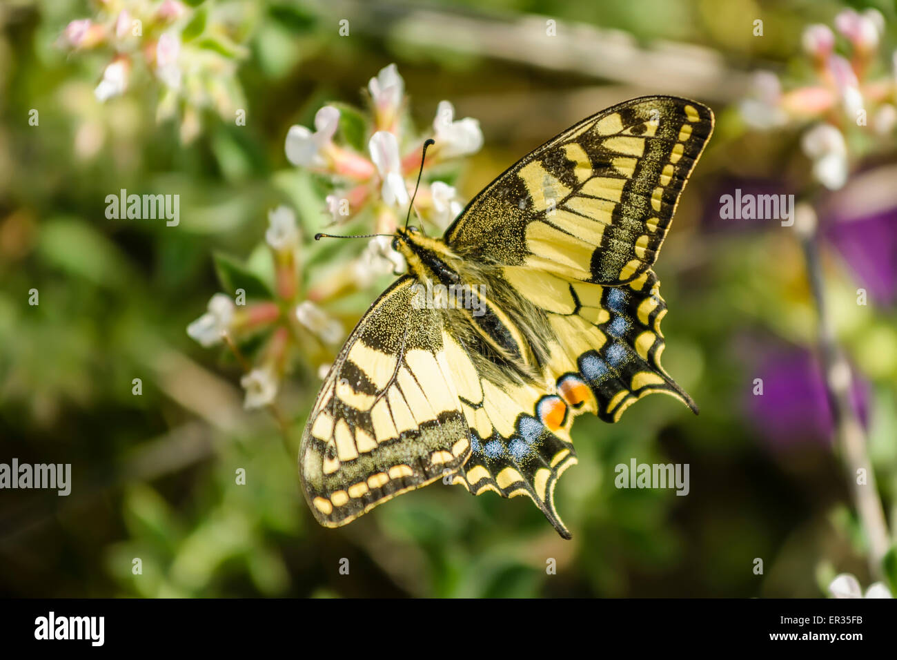 The Old World swallowtail Papilio machaon is a butterfly of the family Papilionidae. The butterfly is also known - Stock Image