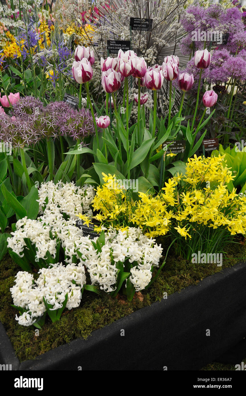 RHS Chelsea Flower Show 2015 - Spring flowering bulbs on display in 'The Great Pavilion' by Avon Bulbs. - Stock Image
