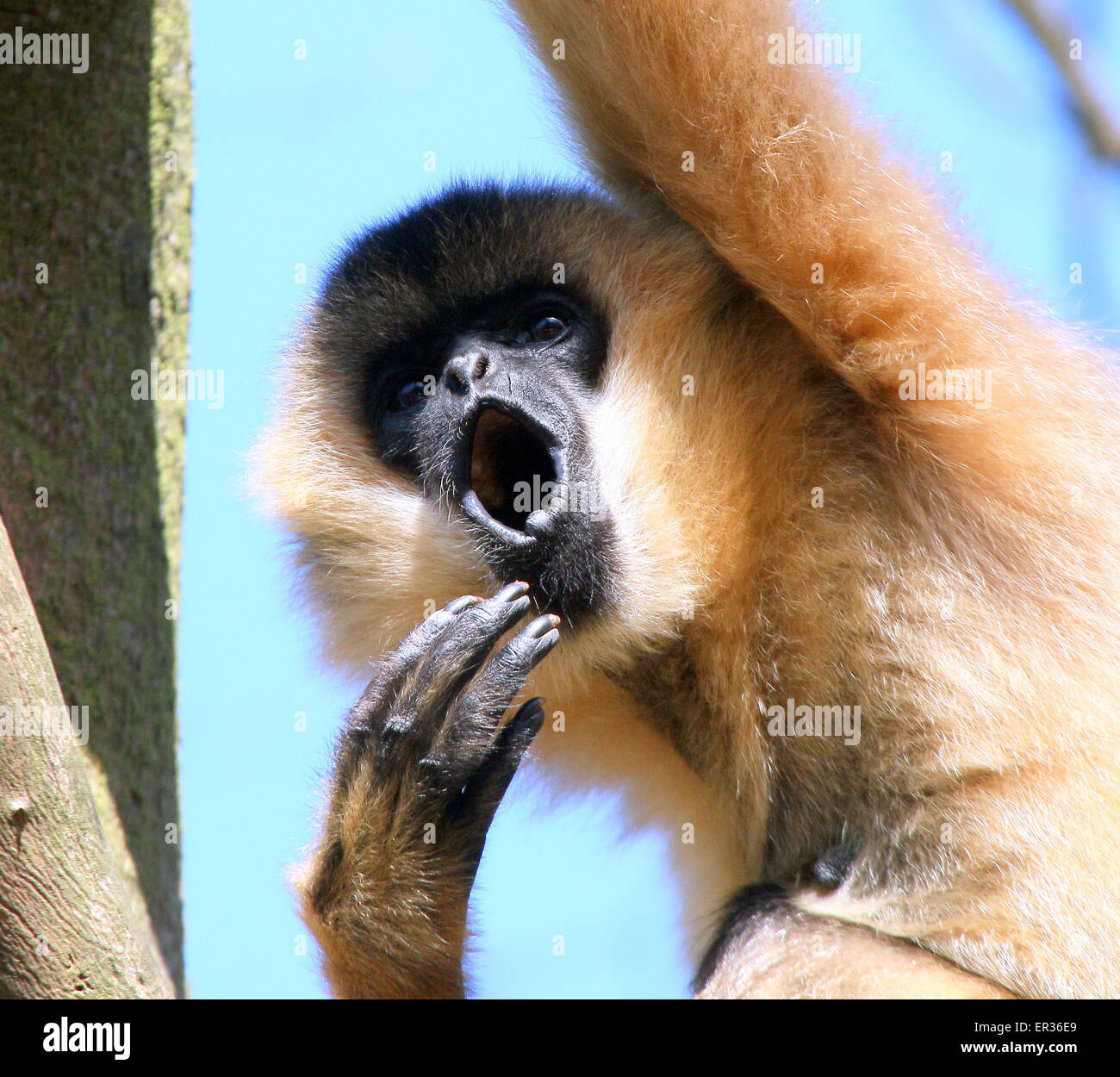 Female Southeast Asian Northern white cheeked gibbon (Nomascus leucogenys) howling loudly - Stock Image