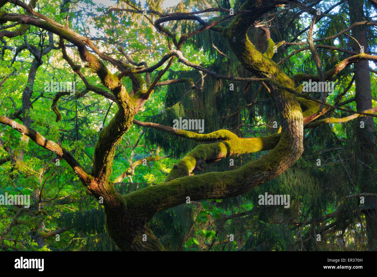 Curved branches - Stock Image