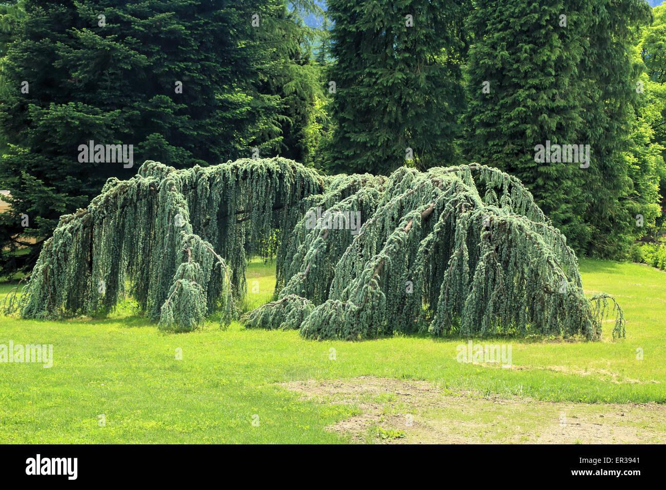 Weeping Blue Atlas Cedar, Cedrus atlantica, Glauca Pendula - Stock Image