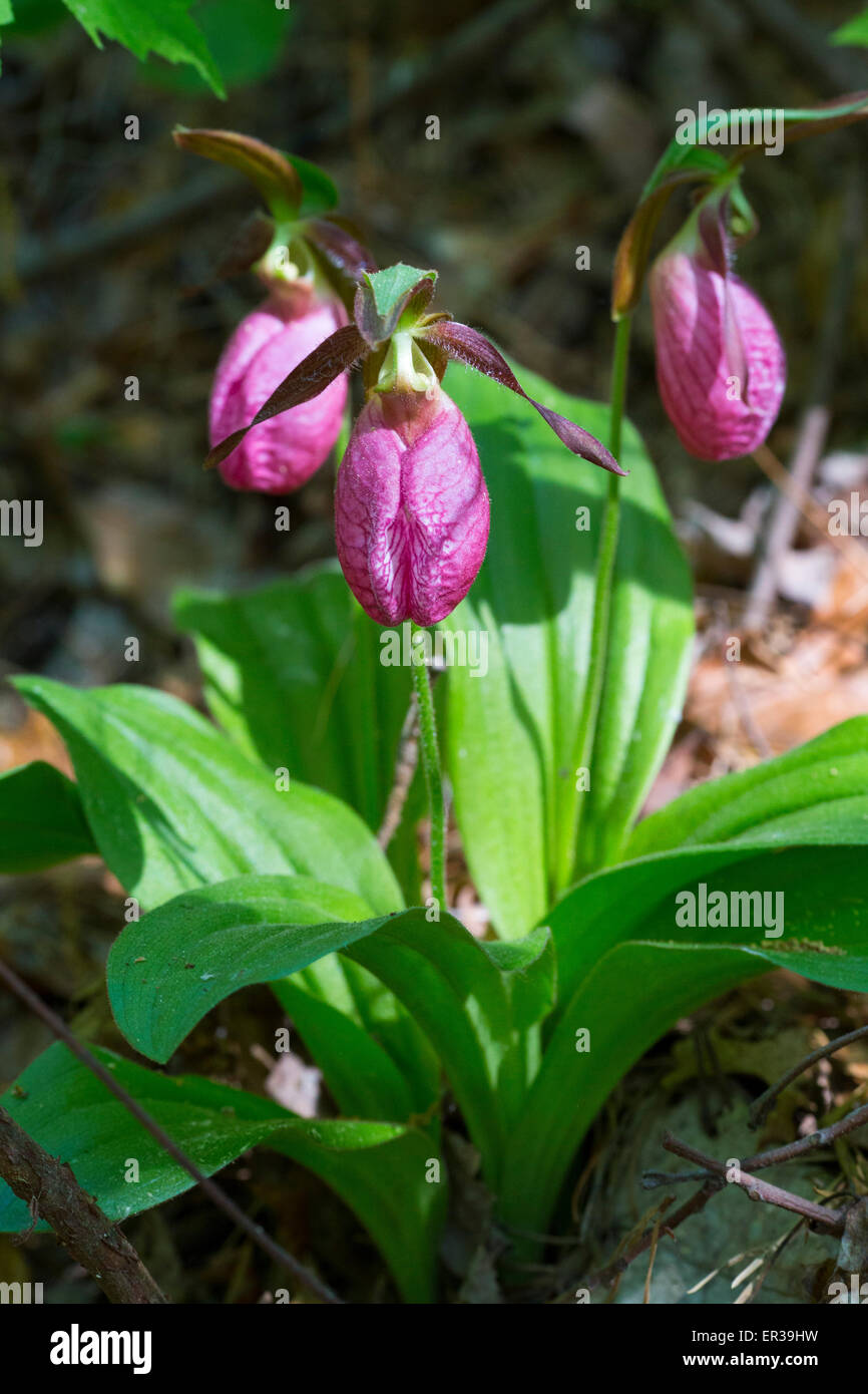 Lady slipper orchid flower in Albany Pine Bush NY - Stock Image