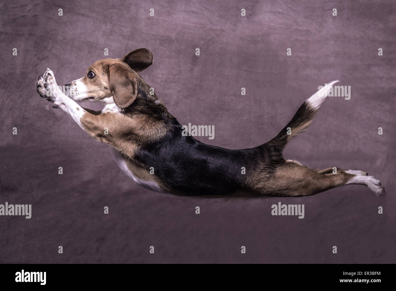 Side view of a dog leaping - Stock Image