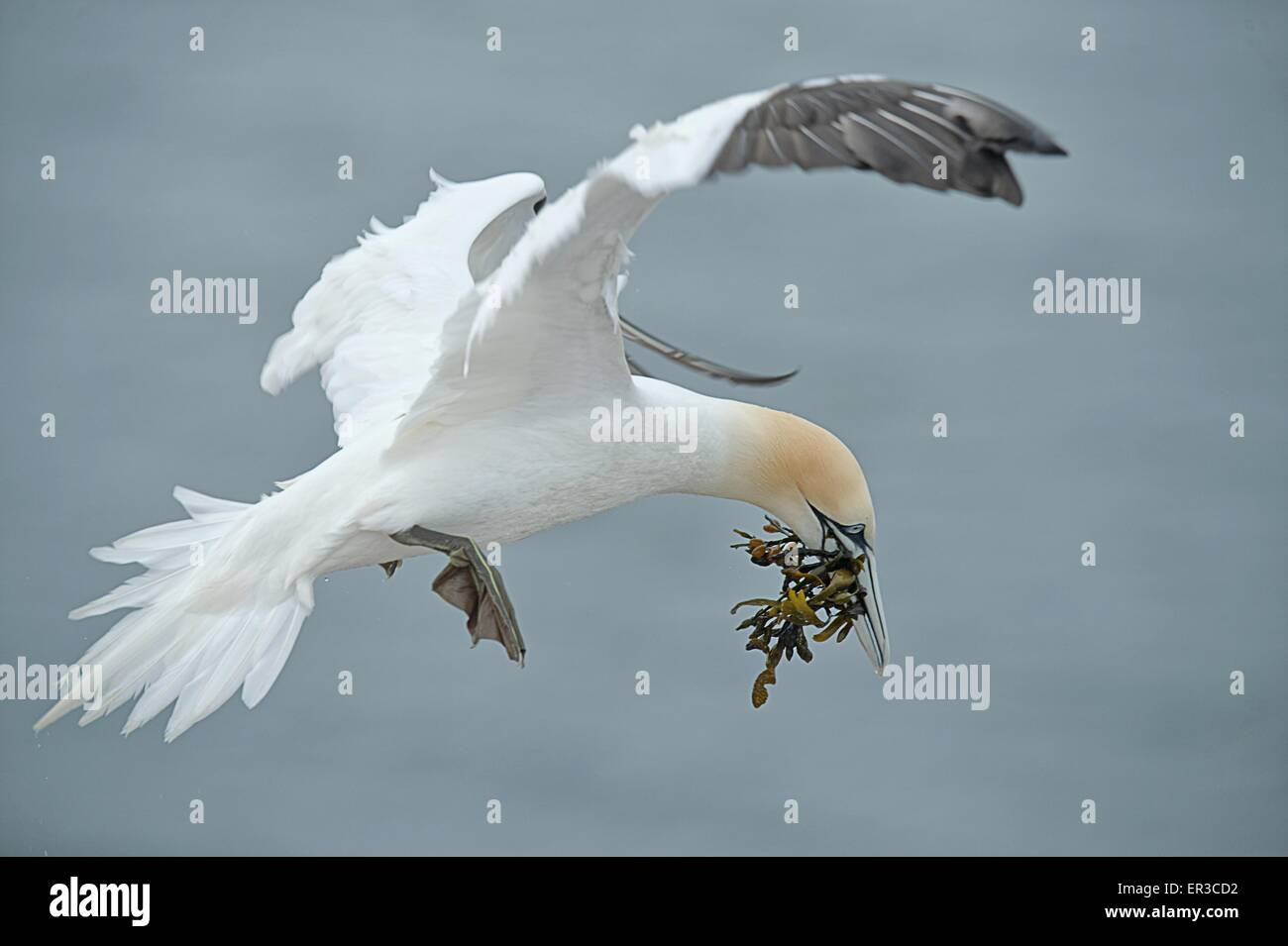Gannet bird mid air with nesting material, Helgoland, Germany - Stock Image