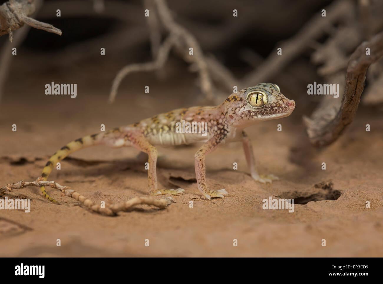 Middle Eastern short-fingered gecko (Stenodactylus doriae), Sharjah, UAE Stock Photo