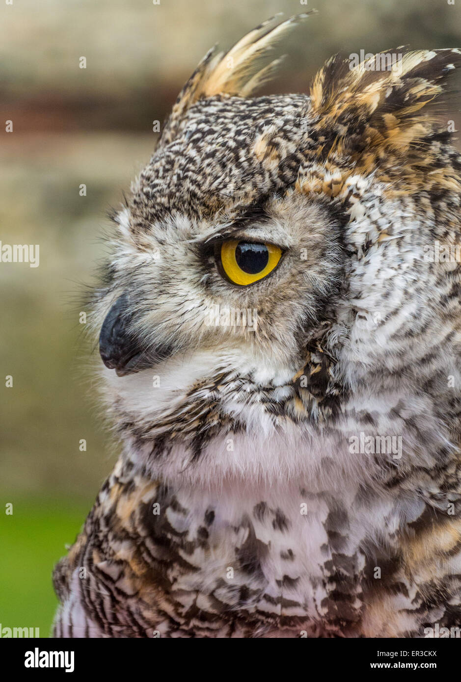 Canadian Great horned owl - Stock Image
