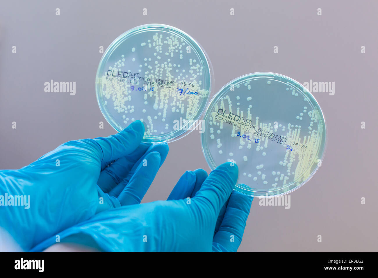 Hands holding a culture plate testing for the presence of Escherichia coli bacteria by looking at antibiotic resistance. - Stock Image