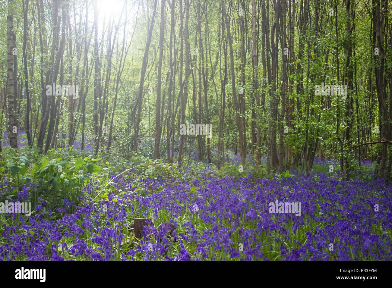 Bluebell Fields - Stock Image