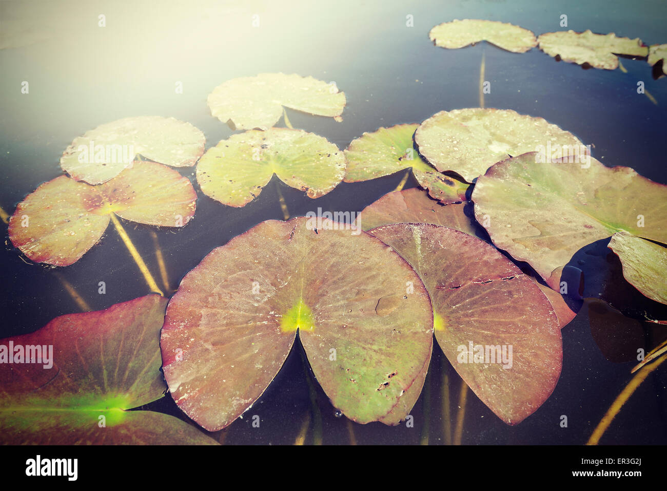Vintage toned water lilies, nature background, shallow depth of field. - Stock Image