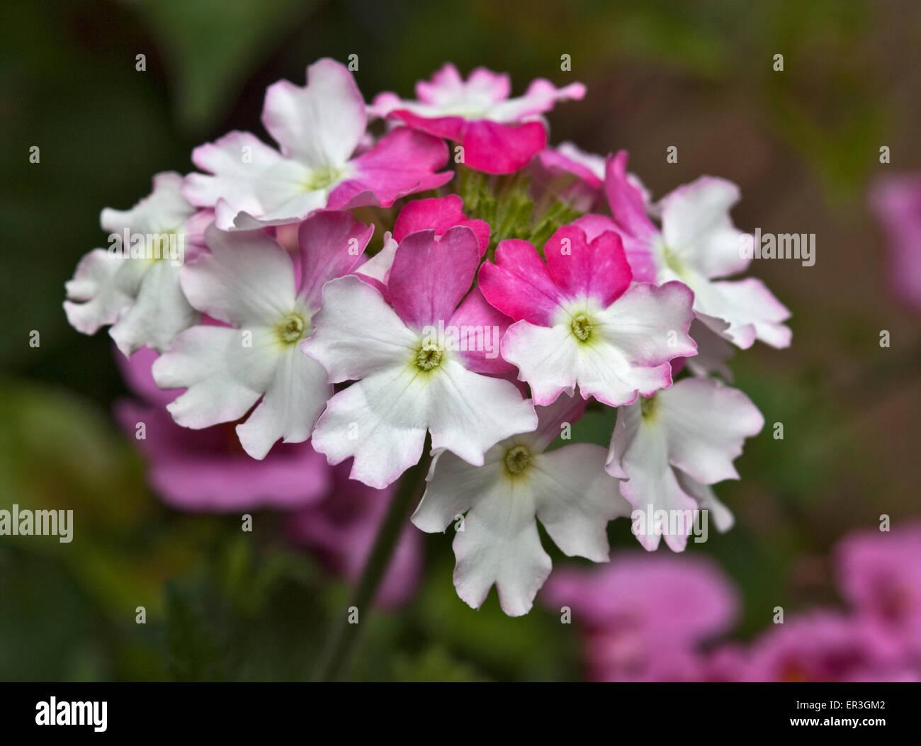 Verbena Lanai Pink Twist - Stock Image
