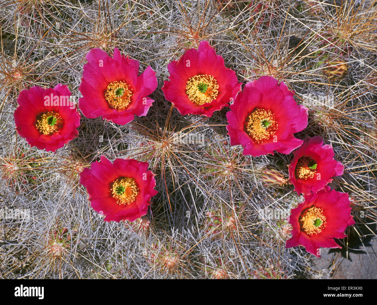 The blooms of a rainbow cactus, in the genus Echinocereus, growing along the eastern edge of New Mexico's Bootheel - Stock Image