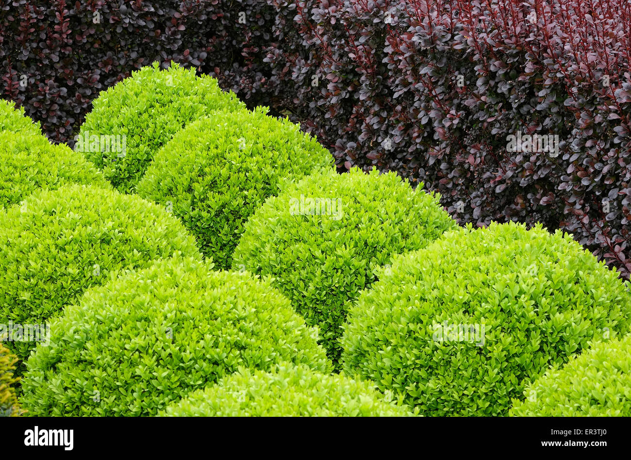 clipped yew ball shaped hedges - Stock Image