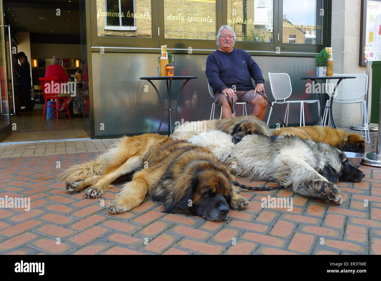 Leonberger dogs and owner outside cafe/restaurant in Chelmsford, Essex - Stock Image