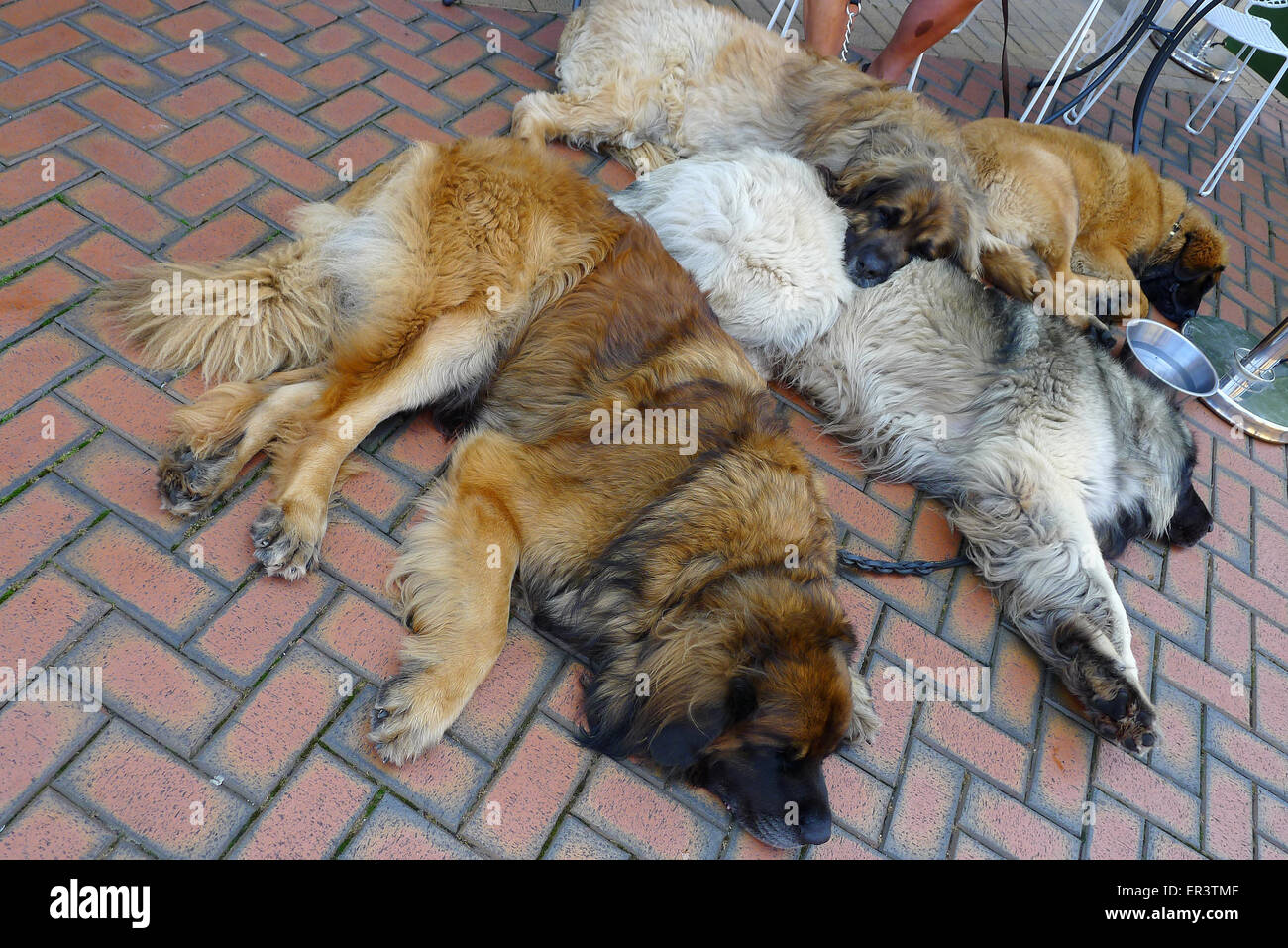 Leonberger dogs lying on ground outside cafe/restaurant in Chelmsford, Essex - Stock Image