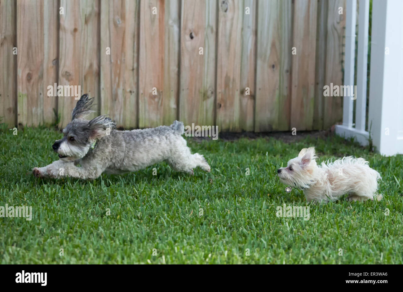 Dogs Playing - Stock Image